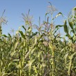 Maize Corn Field — Stock Photo