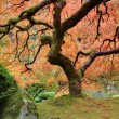 Old Japanese Maple Tree in Fall Panorama - Stock Photo