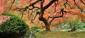Old Japanese Maple Tree in Fall Panorama — Stock Photo