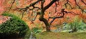 Vieil arbre érable japonais dans panorama d'automne — Photo