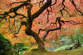 Old Japanese Maple Tree in Fall — Stock Photo