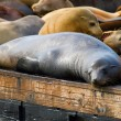 Sea Lions at Pier 39 in San Francisco — Stock Photo