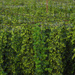 Hop garden - Stock Photo