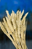 Winter wheat — Stock Photo