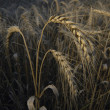 Stock Photo: Winter wheat