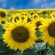 Sunflowers — Stock Photo #7657274