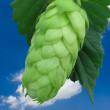 Stock Photo: Hop cone