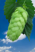 Hop cone — Stock Photo