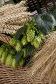 Hop and barley — Stock Photo