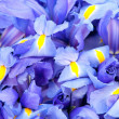 Stock Photo: Blue iris background