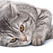 Isolated grey cat — Stock Photo