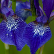 Siberian Irises detail — Stock Photo
