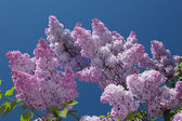 Blooming lilac — Stock Photo