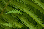 Green fern leaves details — Stock Photo