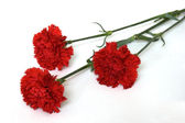 Three Red Carnations, Isolated on White — Stock Photo