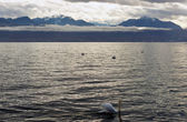 Swan on Lac Leman (Geneva Lake) — ストック写真