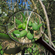Magnifying glass olive — Stock Photo
