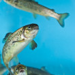 Salmon swimming in aquarium - Stock Photo