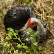 Spring time pekin Bantam Hen free range loves a dirt bath — Stock Photo