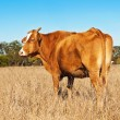 Rump end of brown cow with blue sky — Stock Photo