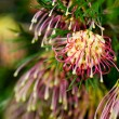 Grevillea Winpara Gem Australian native flower - Stock Photo