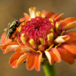 Hover fly on orange flower — Zdjęcie stockowe