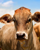 Australian beef cattle young yearling cow — Stock Photo