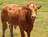 Australian beef cattle, young hereford angus cross bred cow — Foto Stock