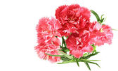 Flower posy of pink carnations bouquet — Stock Photo