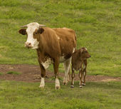 Australian beef cattle breed cow and brahman cross calf — Stock Photo