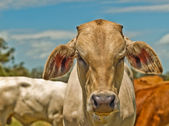 Australian beef cattle charolais bred for meat — Stock Photo