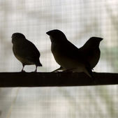 Silhouette birds on perch finches — Stock Photo