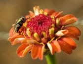 Hover fly on orange flower — Stock Photo