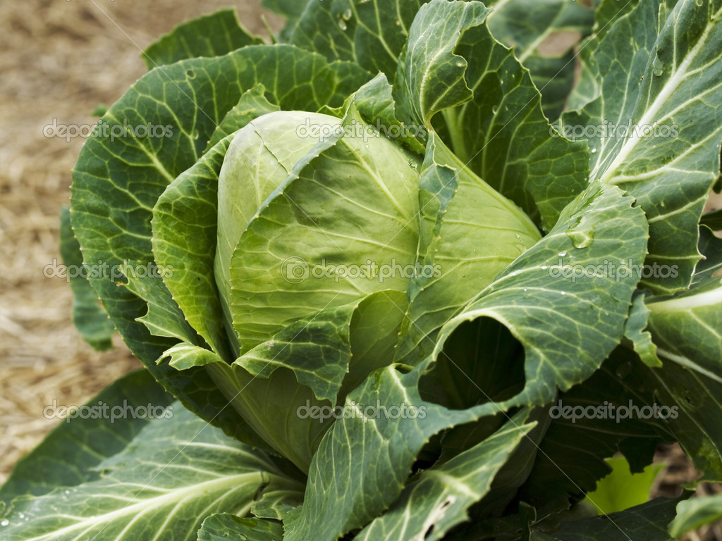 Organic vegetable gardening homegrown cabbage sweet sugarloaf  — Stock Photo #6796502