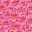 Stock Photo: Pink rose texture wallpaper floral backdrop
