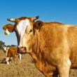 Stock Photo: Brown and white beef cattle Australibred
