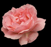 Pink rose flower blossom isolated on black — Stock Photo