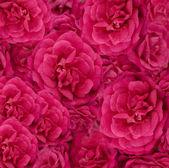 Sfondo rosa rosa cerise floreale bella — Foto Stock