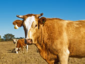 Brown and white beef cattle Australian bred — Stock Photo