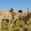 Stock Photo: Young calves playing Beef cattle