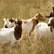 Working dog australian kelpie herds goats — Stock Photo #6989302