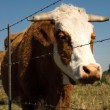 Restrained barbed wire restraining fence to restrain farm cows — Stock Photo
