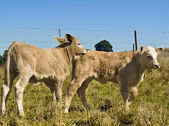 Young calves playing Beef cattle — Stock Photo