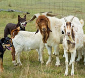 Goats with australian working dogs kelpies — Stock Photo