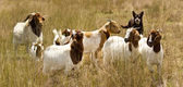Working dog australian kelpie herds goats — Stock Photo