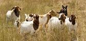 Working dog australian kelpie herds goats — Stock Photo