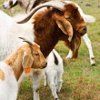 Stock Photo: Billy goat with nanny goats