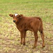 Spring time young brown calf for beef — Stock Photo