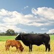 Stock Photo: Mother and baby cow Australibred beef cattle