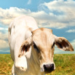 Stock Photo: Lone calf
